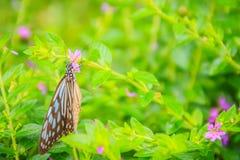 Садятся на насест темная стекловидная голубая бабочка тигра на фиолетовом Mexica Стоковые Изображения