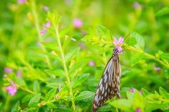 Садятся на насест темная стекловидная голубая бабочка тигра на фиолетовом Mexica Стоковые Фото