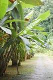 Сад банана Стоковые Изображения