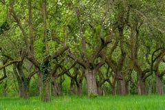 Сад вишни Вишня ствола дерева в ряд Переулок вишневых деревьев стоковое изображение