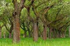 Сад вишни Вишня ствола дерева в ряд Переулок вишневых деревьев стоковое фото rf
