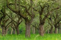 Сад вишни Вишня ствола дерева в ряд Переулок вишневых деревьев стоковые изображения rf