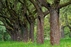 Сад вишни Вишня ствола дерева в ряд стоковое изображение