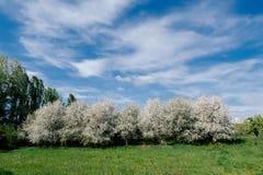 Сад вишни на солнечный день Стоковое Изображение RF