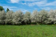 Сад вишни на солнечный день Стоковая Фотография