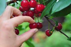 сад вишни Стоковые Фотографии RF