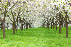 сад вишни стоковые изображения rf