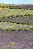 Сад ` вполне ` лаванды аранжировал Барбарой и Andrzej Olender в ³ w Ostrà 40 km от Кракова Запах и цвет lavende стоковые изображения rf