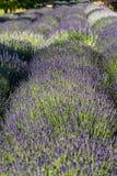 Сад вполне лаванды стоковые фотографии rf