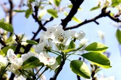 Сад груши цветет сомкнутость цветенй природы стоковые фотографии rf