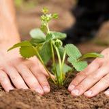 сад засаживая клубники Стоковые Фото
