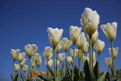 Сад Зацветая белые тюльпаны в солнечном дне стоковое изображение