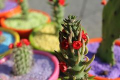 Сад зеленого цвета цвета завода лета цветка красного цвета кактуса Стоковая Фотография RF