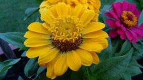 Сад играя главные роли желтый Zinnia стоковая фотография