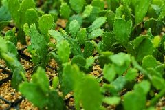 Сад кактуса ботанический Стоковое Фото
