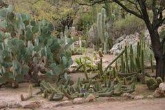 Сад кактуса в Аризоне Стоковые Изображения