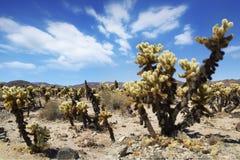 Сад кактуса в пустыне Стоковая Фотография