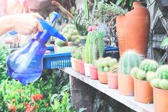 Сад кактуса руки ` s женщины моча, домашний сад Стоковое Изображение RF
