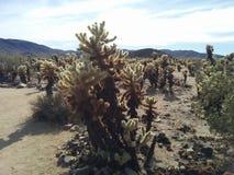 Сад кактуса Cholla скача в национальном парке дерева Иешуа Стоковое Изображение