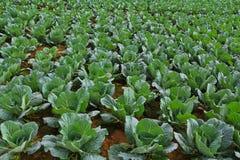 Сад капусты. стоковые фотографии rf