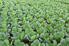 Сад капусты. стоковая фотография