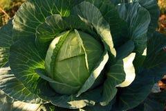 сад капусты Стоковое фото RF