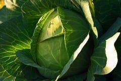 сад капусты Стоковое Изображение