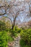 Сад Киото Япония Сакуры полного цветения стоковое изображение rf