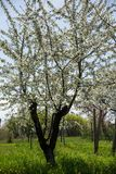 Сад кислой вишни Стоковые Фото