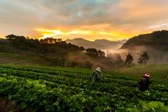 Сад клубники на Ang Khang Doi, Чиангмае, Таиланде стоковая фотография rf