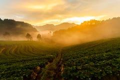Сад клубники на Ang Khang Doi, Чиангмае, Таиланде стоковые изображения