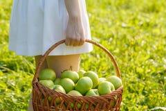 сад корзины яблок здоровый органический Стоковое фото RF