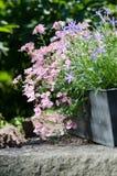 Сад коттеджа - красивые цветки в баках Стоковое Изображение RF