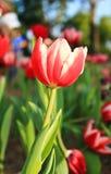 Сад красных тюльпанов стоковая фотография rf
