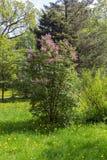 Сад куста сирени весной стоковая фотография
