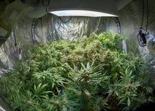 Сад марихуаны стоковые изображения rf