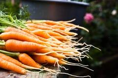 сад морковей свежий Стоковые Фото