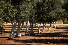 Сад оливкового дерева в Иерусалиме стоковое фото rf