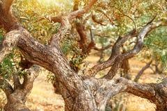 Сад оливковых дерев Стоковые Изображения RF