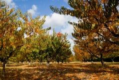 Сад персика в цветах осени Стоковая Фотография