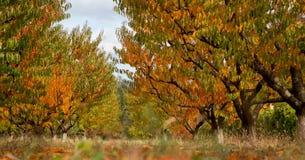 Сад персика в цветах осени Стоковое фото RF