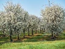 Сад плода со строкой зацветая деревьев - яблоней с цветками Лужайка на  стоковая фотография rf