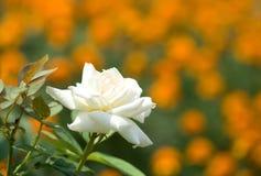 сад поднял Стоковое Фото