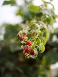 Сад поленики ветви Стоковое фото RF
