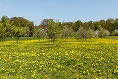 Сад полный с лугом вполне одуванчиков весной стоковое изображение