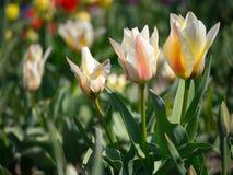 Сад поля тюльпанов цветастый тюльпан Цветки на времени весны Стоковое Фото