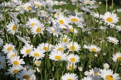 Сад стоцвета белые цветки русской маргаритки стоцвета щеголя Стоковые Фотографии RF
