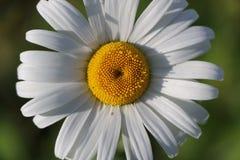 Сад стоцвета белые цветки русской маргаритки стоцвета щеголя Стоковые Изображения
