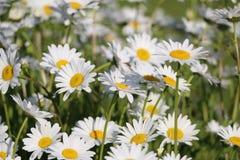 Сад стоцвета белые цветки русской маргаритки стоцвета щеголя Стоковая Фотография