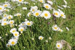 Сад стоцвета белые цветки русской маргаритки стоцвета щеголя Стоковые Изображения RF